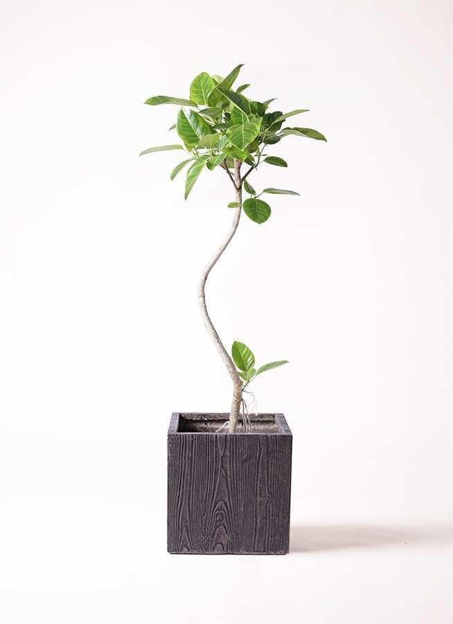観葉植物 フィカス アルテシーマ 8号 曲り ベータ キューブプランター ウッド 茶 付き