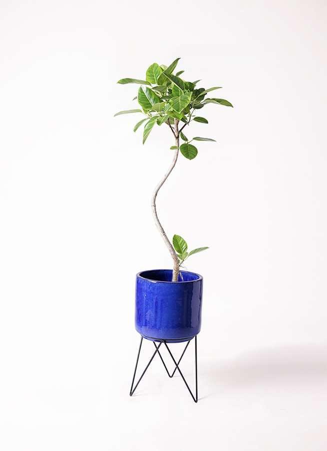 観葉植物 フィカス アルテシーマ 8号 曲り ビトロ エンデカ ブルー アイアンポットスタンド ブラック 付き
