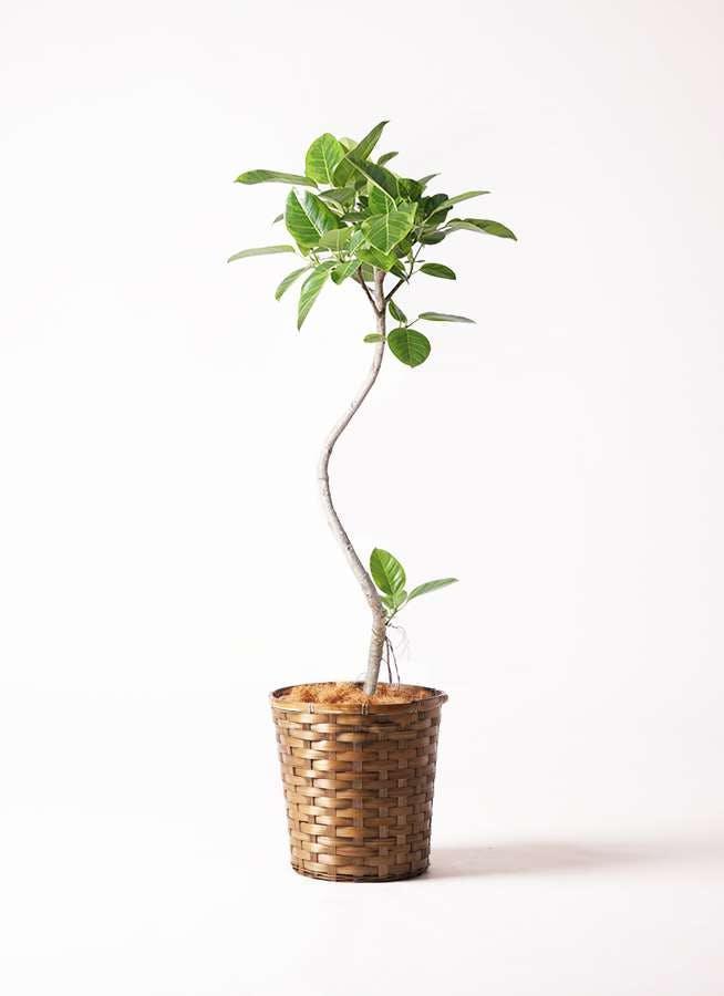 観葉植物 フィカス アルテシーマ 8号 曲り 竹バスケット 付き