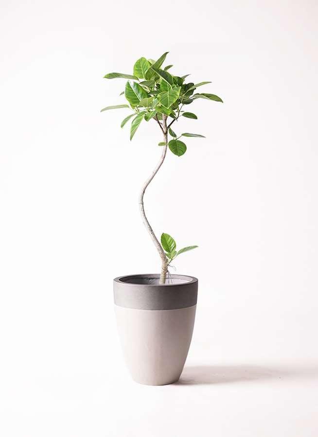 観葉植物 フィカス アルテシーマ 8号 曲り ファイバーストーンカプリ サンディホワイト 付き