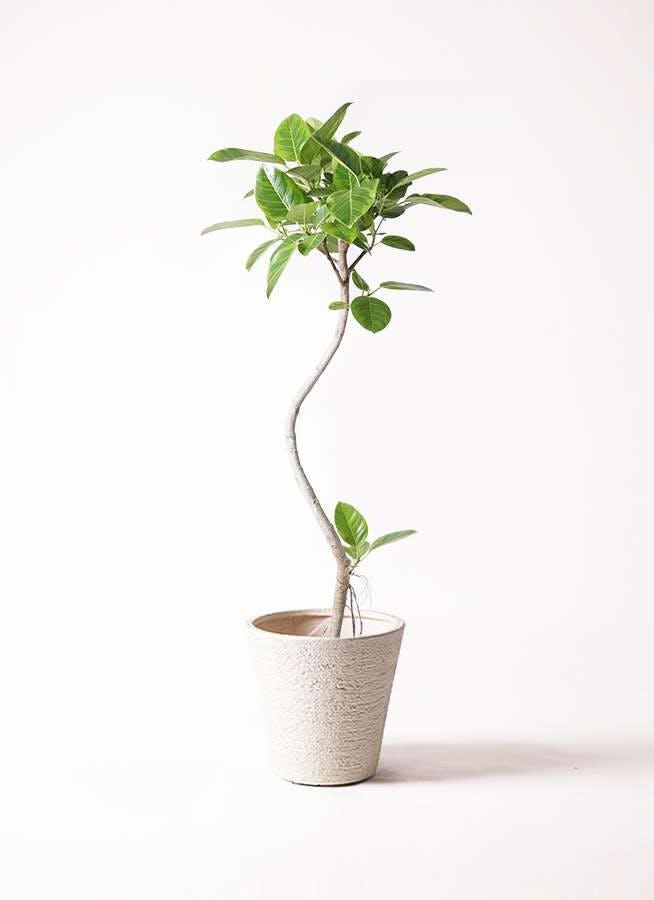 観葉植物 フィカス アルテシーマ 8号 曲り ビアスソリッド 白 付き