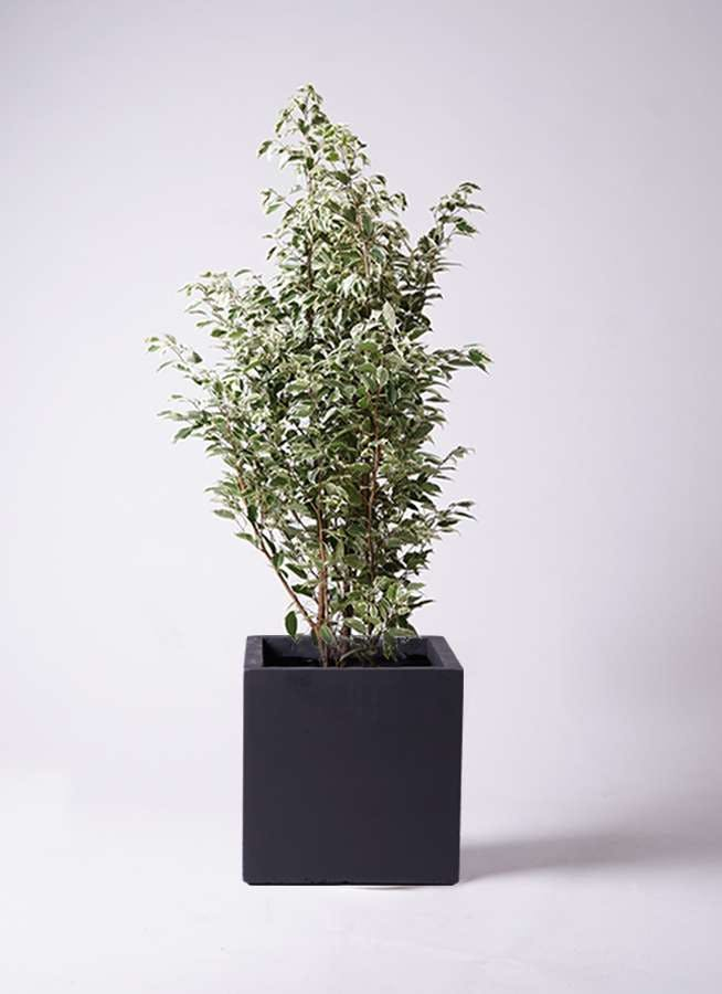 観葉植物 フィカス ベンジャミン 10号 スターライト ベータ キューブプランター 黒 付き
