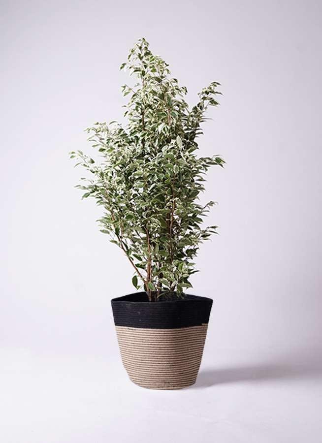 観葉植物 フィカス ベンジャミン 10号 スターライト リブバスケットNatural and Black 付き