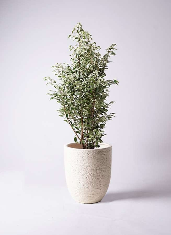 観葉植物 フィカス ベンジャミン 10号 スターライト ビアスアルトエッグ 白 付き
