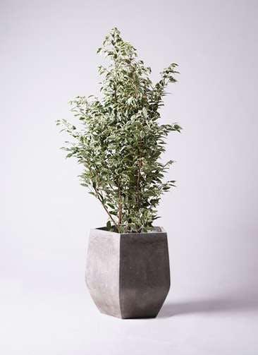 観葉植物 フィカス ベンジャミン 10号 スターライト ファイバークレイGray 付き