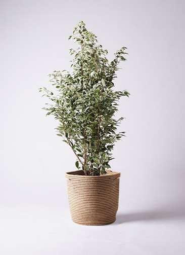 観葉植物 フィカス ベンジャミン 10号 スターライト リブバスケットNatural 付き