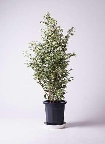 観葉植物 フィカス ベンジャミン 10号 スターライト プラスチック鉢