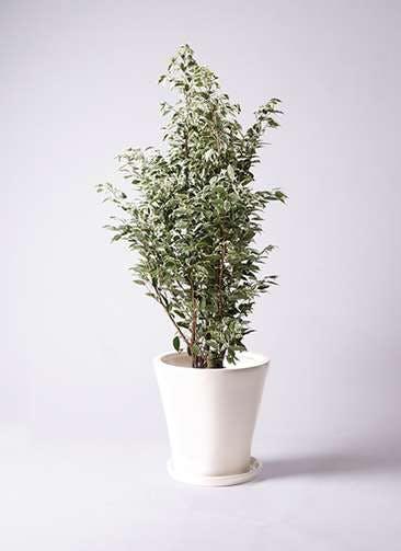 観葉植物 フィカス ベンジャミン 10号 スターライト サブリナ 白 付き