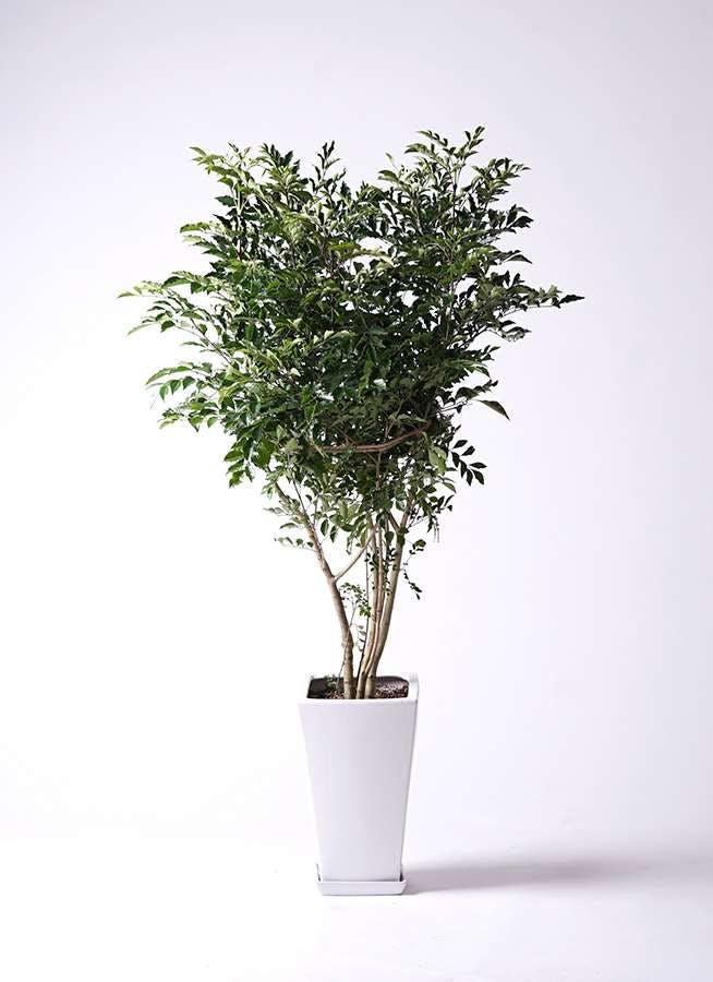 観葉植物 シマトネリコ 8号 角高陶器