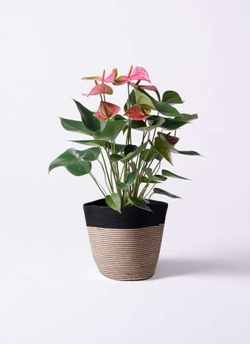 観葉植物 アンスリウム 6号 ピンクチャンピオン リブバスケットNatural and Black 付き