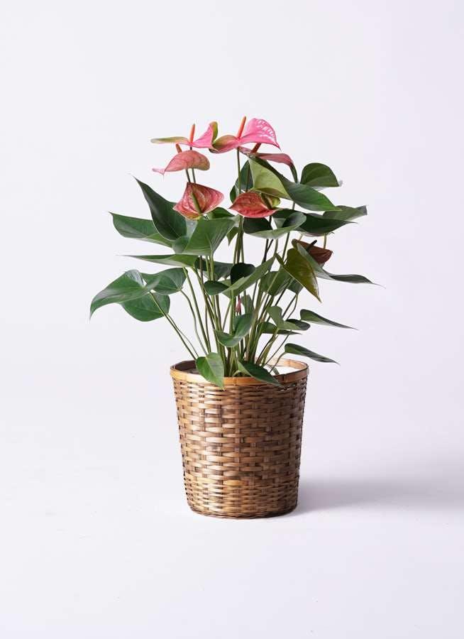 観葉植物 アンスリウム 6号 ピンク 竹バスケット 付き