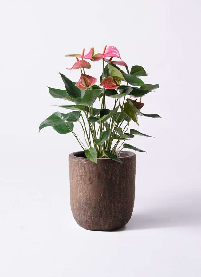 観葉植物 アンスリウム 6号 ピンク ビトロ ウーヌム コッパー釉 付き