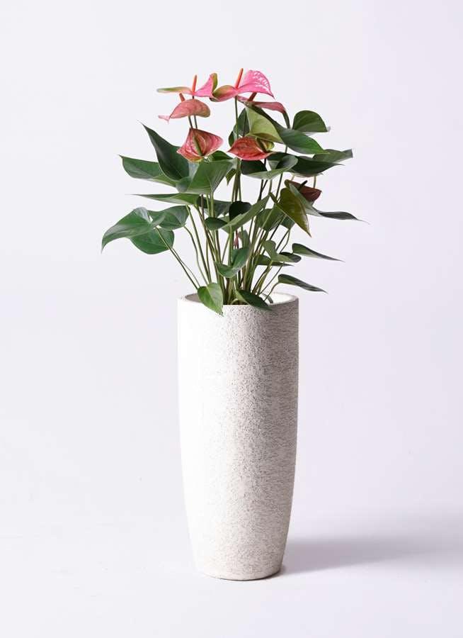 観葉植物 アンスリウム 6号 ピンク エコストーントールタイプ white 付き
