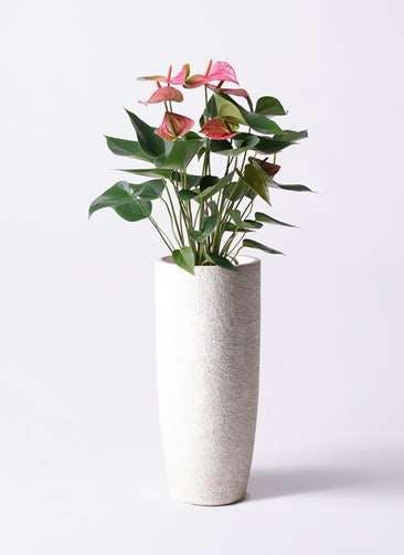 観葉植物 アンスリウム 6号 ピンクチャンピオン エコストーントールタイプ white 付き