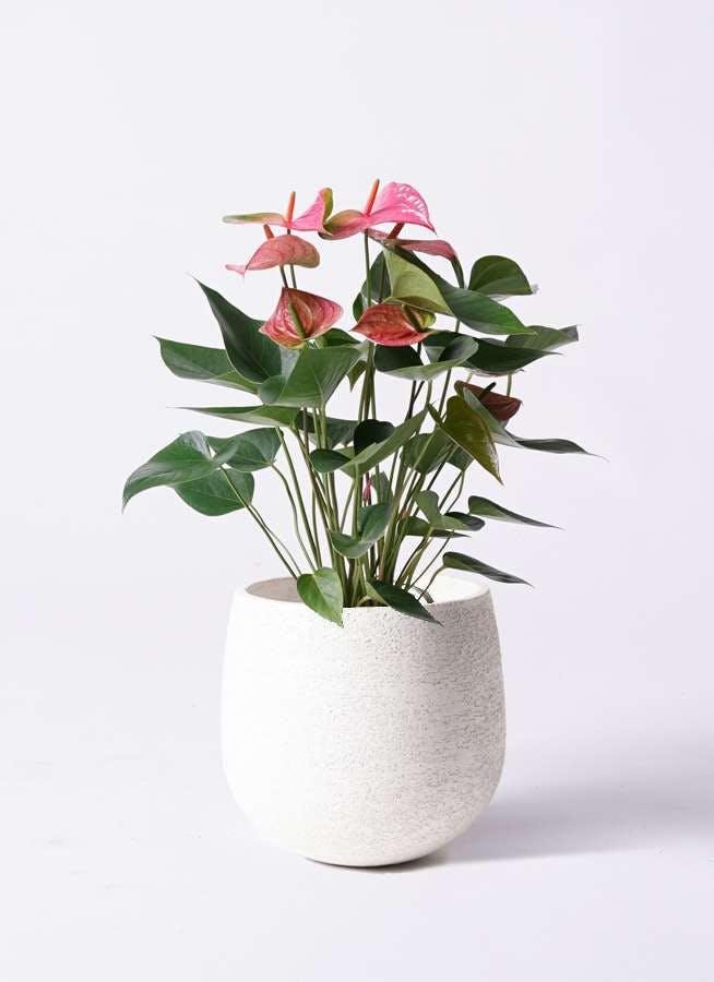 観葉植物 アンスリウム 6号 ピンク エコストーンwhite 付き