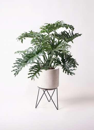 観葉植物 セローム ヒトデカズラ 8号 ボサ造り ビトロ エンデカ クリーム アイアンポットスタンド ブラック 付き