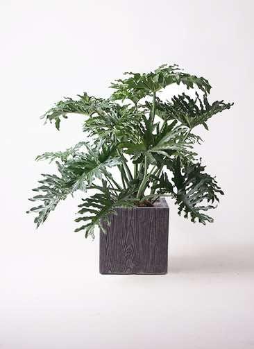 観葉植物 セローム ヒトデカズラ 8号 ボサ造り ベータ キューブプランター ウッド 茶 付き
