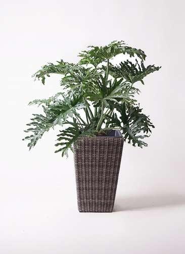 観葉植物 セローム ヒトデカズラ 8号 ボサ造り ウィッカーポット スクエアロング OT 茶 付き