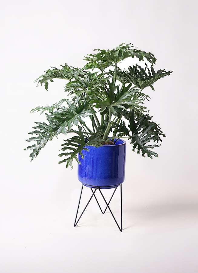 観葉植物 セローム ヒトデカズラ 8号 ボサ造り ビトロ エンデカ ブルー アイアンポットスタンド ブラック 付き