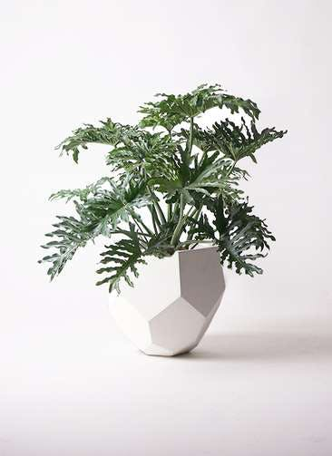観葉植物 セローム ヒトデカズラ 8号 ボサ造り ポリゴヘクサ 白 付き