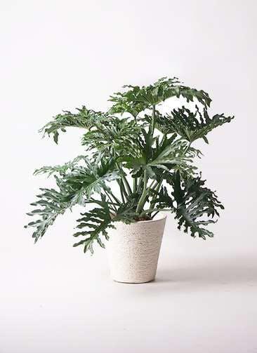 観葉植物 セローム ヒトデカズラ 8号 ボサ造り ビアスソリッド 白 付き