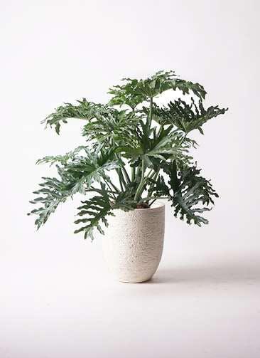 観葉植物 セローム ヒトデカズラ 8号 ボサ造り ビアスアルトエッグ 白 付き