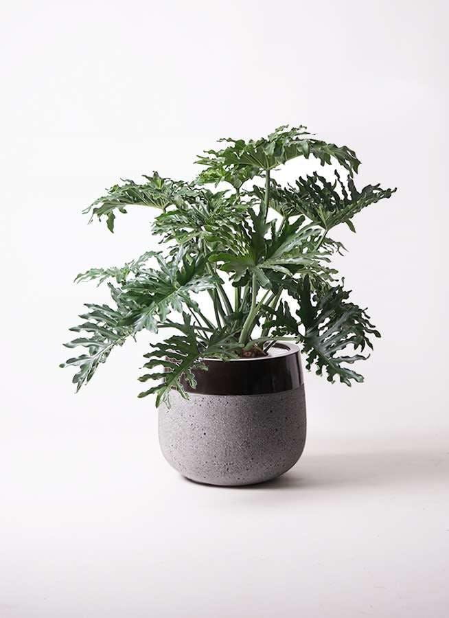 観葉植物 セローム ヒトデカズラ 8号 ボサ造り ファイバーストーンタウルス 黒 付き