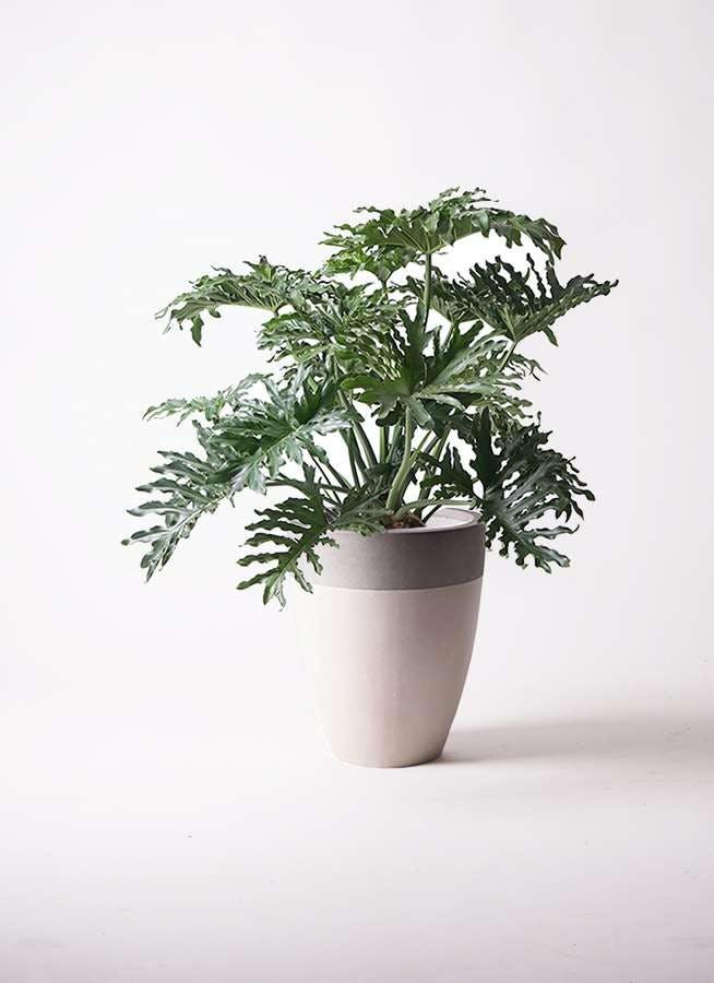 観葉植物 セローム ヒトデカズラ 8号 ボサ造り ファイバーストーンカプリ サンディホワイト 付き