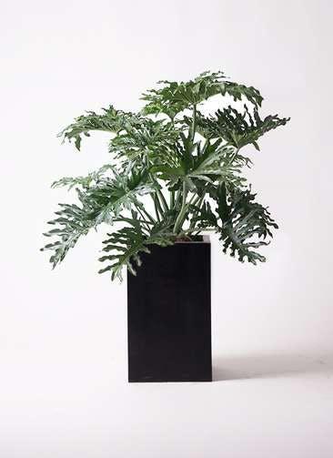 観葉植物 セローム ヒトデカズラ 8号 ボサ造り セドナロング 墨 付き