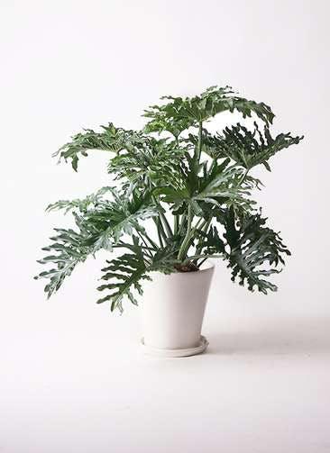 観葉植物 セローム ヒトデカズラ 8号 ボサ造り サブリナ 白 付き