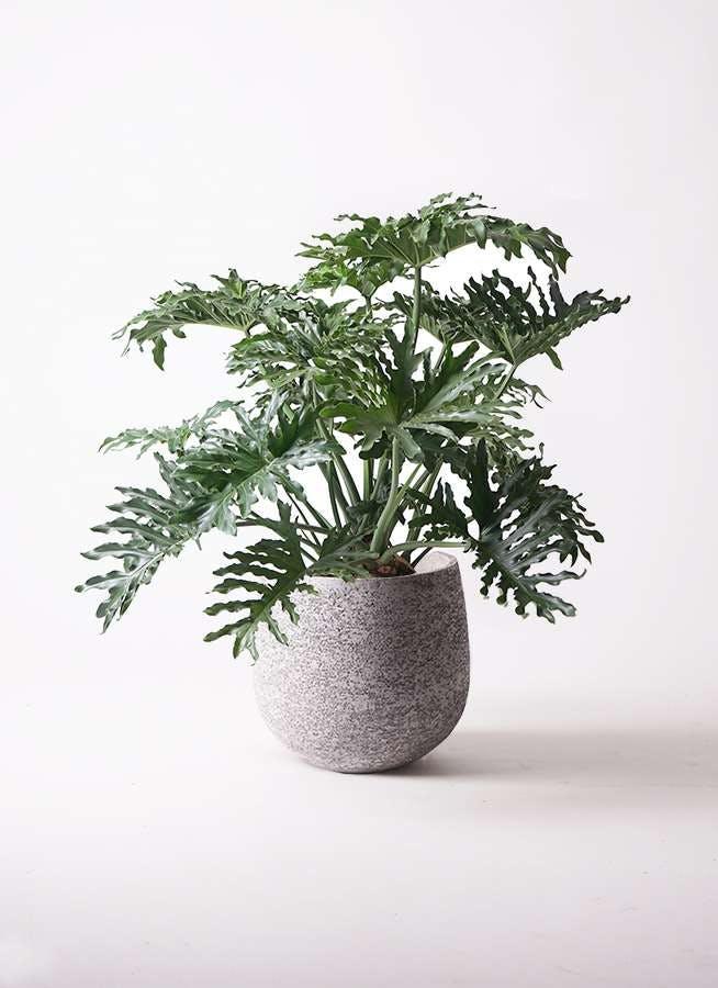 観葉植物 セローム ヒトデカズラ 8号 ボサ造り エコストーンGray 付き