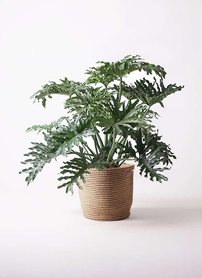 観葉植物 セローム ヒトデカズラ 8号 ボサ造り リブバスケットNatural 付き