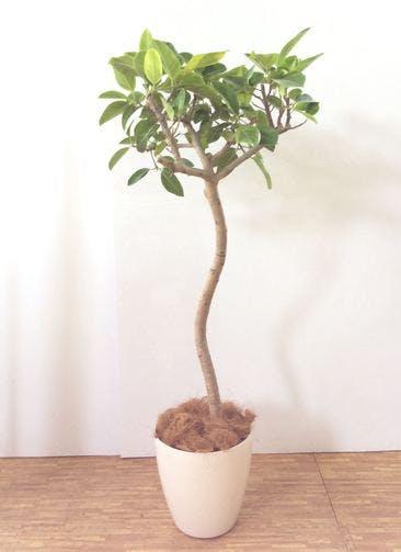 観葉植物 【180cm】 フィカス アルテシーマ 10号 #24818 ※関西エリア配送限定