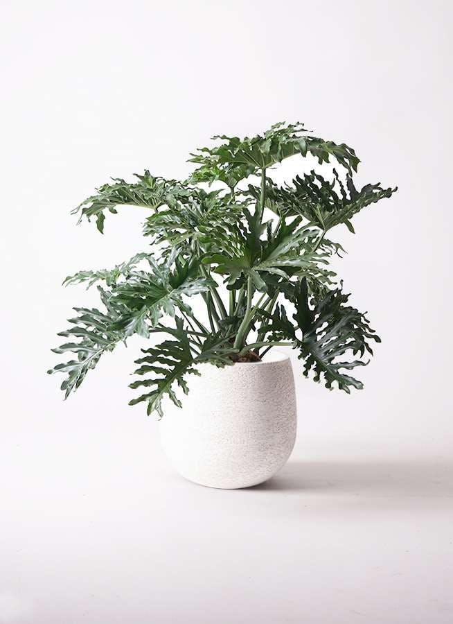観葉植物 セローム ヒトデカズラ 8号 ボサ造り エコストーンwhite 付き