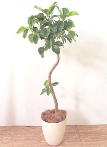 観葉植物 【180cm】 フィカス アルテシーマ 10号 #24819 ※関西エリア配送限定商品