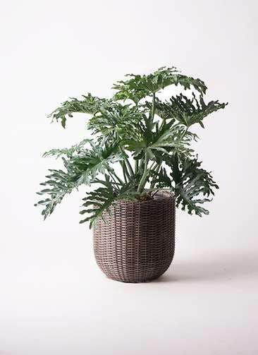 観葉植物 セローム ヒトデカズラ 8号 ボサ造り ウィッカーポットエッグ 茶 付き