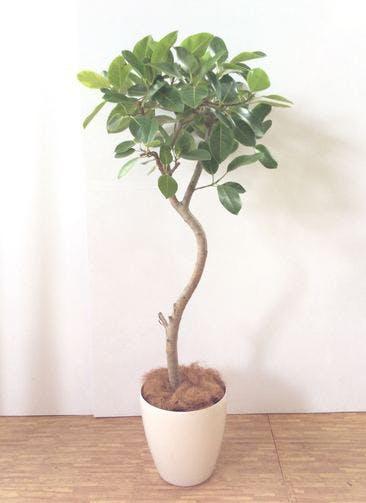 観葉植物 【180cm】 フィカス アルテシーマ 10号 #24817 ※関西エリア限定商品