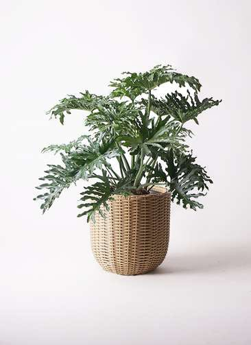 観葉植物 セローム ヒトデカズラ 8号 ボサ造り ウィッカーポットエッグ ベージュ 付き