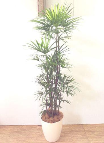 観葉植物 【200cm】 シュロチク(棕櫚竹) 10号 #24820 ※関西エリア配送限定商品