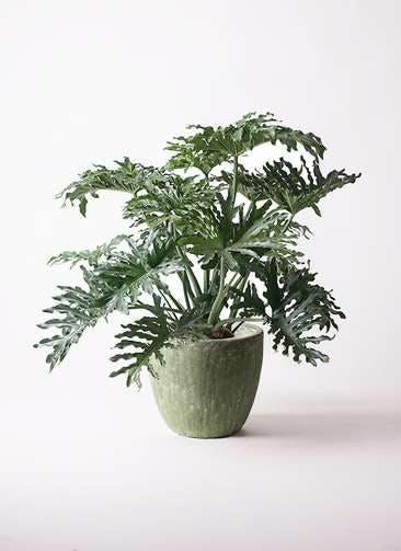 観葉植物 セローム ヒトデカズラ 8号 ボサ造り アビスソニアミドル 緑 付き