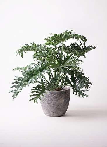 観葉植物 セローム ヒトデカズラ 8号 ボサ造り アビスソニアミドル 灰 付き