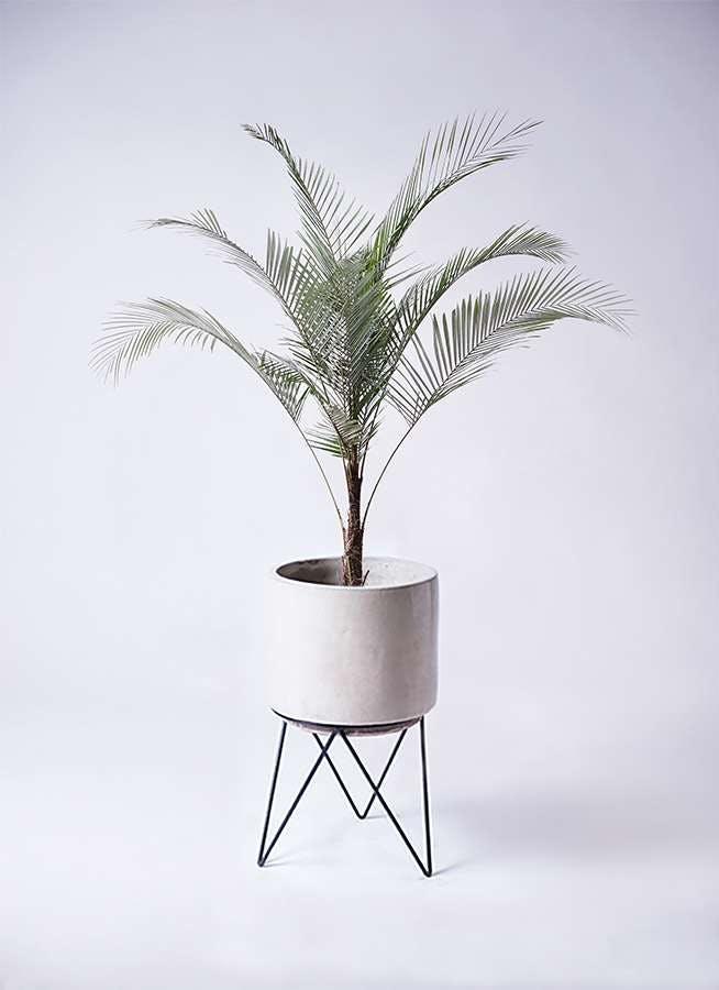 観葉植物 ヒメココス 8号 ビトロ エンデカ クリーム アイアンポットスタンド ブラック 付き