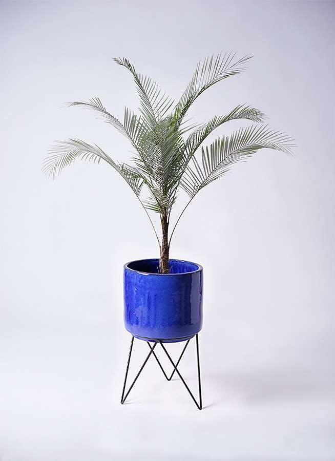 観葉植物 ヒメココス 8号 ビトロ エンデカ ブルー アイアンポットスタンド ブラック 付き