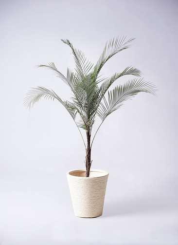観葉植物 ヒメココス 8号 ビアスソリッド 白 付き