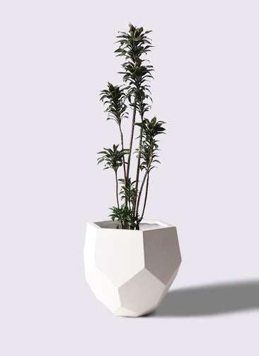 観葉植物 ドラセナ パープルコンパクタ 8号 ポリゴヘクサ 白 付き