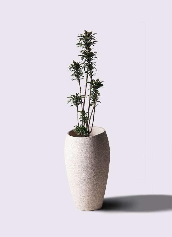 観葉植物 ドラセナ パープルコンパクタ 8号 エコストーントールタイプ Light Gray 付き