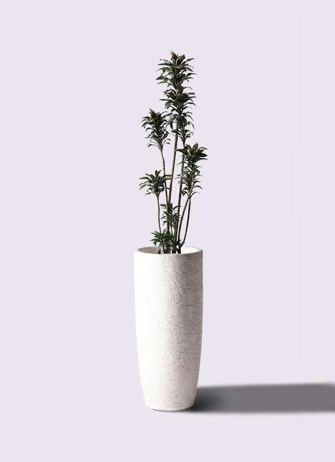 観葉植物 ドラセナ パープルコンパクタ 8号 エコストーントールタイプ white 付き