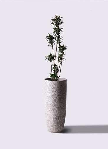 観葉植物 ドラセナ パープルコンパクタ 8号 エコストーントールタイプ Gray 付き