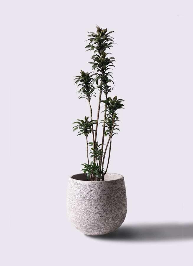 観葉植物 ドラセナ パープルコンパクタ 8号 エコストーンGray 付き