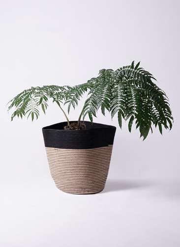 観葉植物 リュウビンタイ 8号 リブバスケットNatural and Black 付き